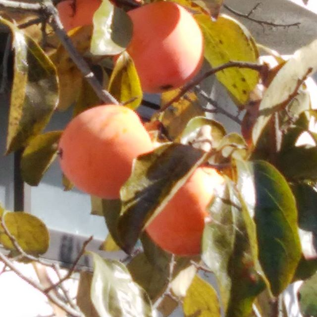 大好物柿 豊作かな?