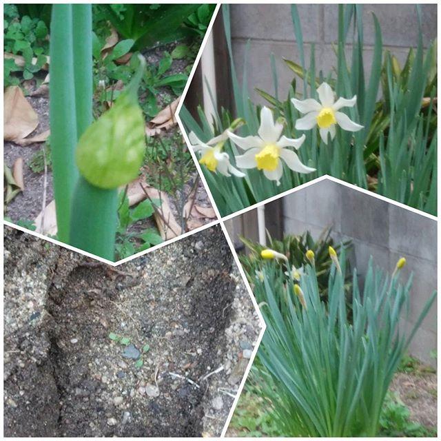 今朝のウチの庭 咲いたよ💭 私の大きな足跡もある 巨人ではないよ~