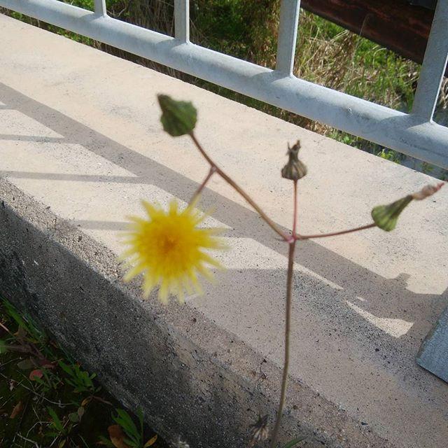 朝 お花の道しるべ?可愛いね#福山神辺#朝#みちしるべ#可愛いはな#癒し