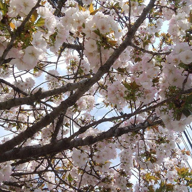 葉桜に成りそうだよ~