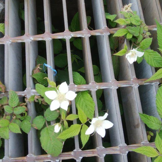 根性あるね!(^^)! 踏まれても踏まれても花を咲かす 頭下がるぅ