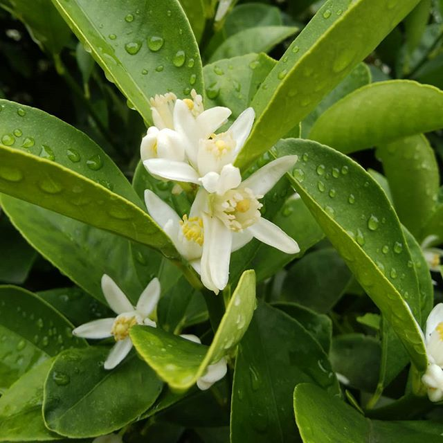 金柑の花がいま 満開です金柑の甘露煮作りたいなぁ#福山神辺#金柑#甘露煮