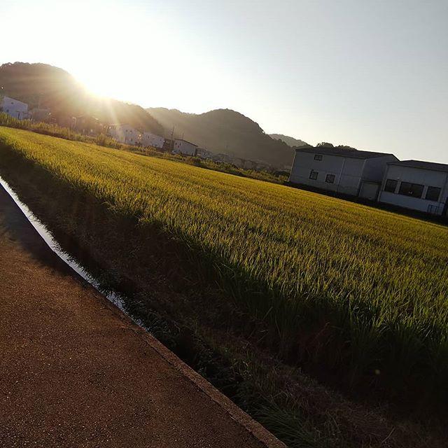 今朝のウォーキング気持ちいい️ ボツボツ稲刈りだね #福山神辺#ウォーキング#朝日