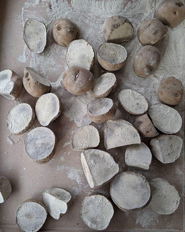 初めてのジャガイモ切り口に塗る灰を買ってきた一晩寝させて父さんが起きたら植えるよーワクワク️ #福山神辺#ジャガイモ植付#ワクワクが止まらない