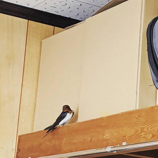 朝の訪問着どこから入ってきたの?チッチッと鳴くので上を見ると?ツバメのつっちゃんが有難う!ウンチを落とさないうちに窓からはいサヨウナラいい事あるかも#福山神辺#初ツバメ#どこから入ったの?