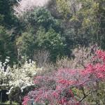 梅に山桜 上組